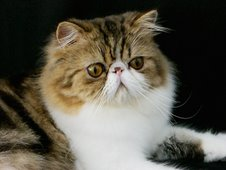 Brown Tabby & White Persian Male