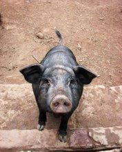 A happy organic pig!