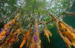 Endangered Mangroves