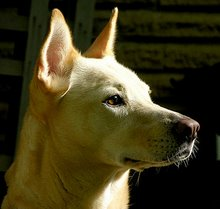 Phoebe - my Carolina Dog