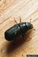 Pinebeetle