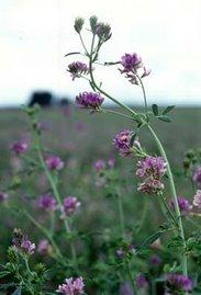 La Alfalfa