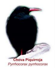 Bienvenido a mi blog de la Chova Piquirroja