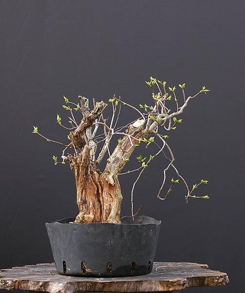 david s bonsai collection. Black Bedroom Furniture Sets. Home Design Ideas