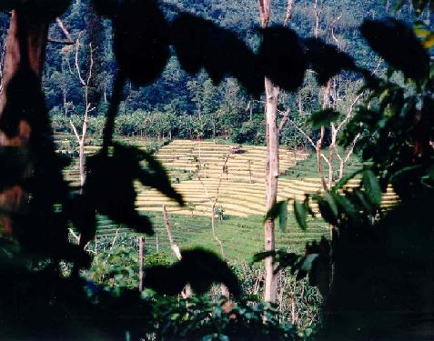 Fields observed from the road to Danau Ranau, Lampung