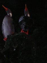 Patos de Isla Choros