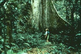 Árvore da Amazônia