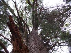 Le pin blanc remarquable, maintenant au coeur d'un futur parc de conservation