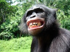 When a major bonobo smiles...