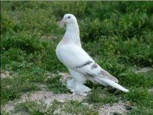 Güvercin Resimler