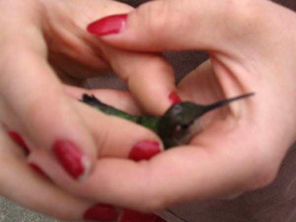 Tame Hummingbird