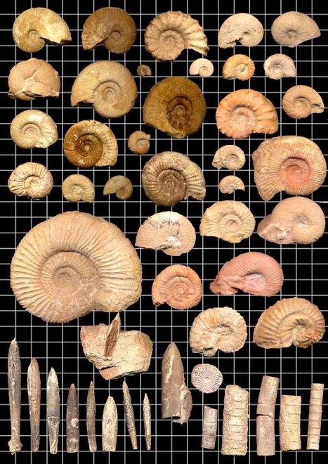Ammonites, belemnites y crinoides