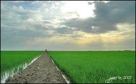 Paisaje típico que se puede observar durante los primeros meses del cultivo del arroz