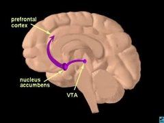 NUCLEUS ACCUMBENS