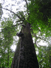 Borneo Rain Forest Tree