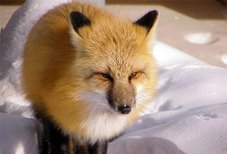 Red Fox 1 - Ice Road - NWT