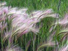 Prairie Wild Grass