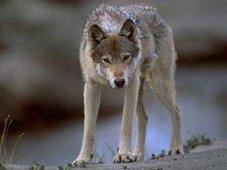 Wolf - Lac de Gras - NWT