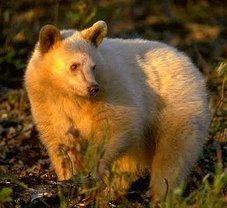 Blonde Black Bear - Riding Mountain Park