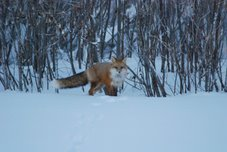 Red Fox - NWT