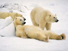 Polar Bear - Lounging - Churchill, Manitoba