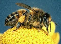 Polen toplayan arı