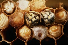 Arıların Doğumu