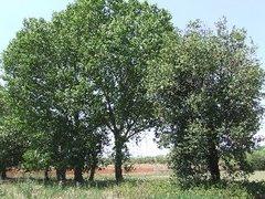 Montesilvano e gli alberi