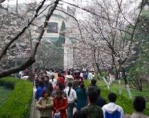 ~~so beautiful cherry blossom~`