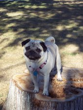 Lilly the pug