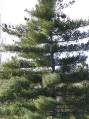 DeBoer introduced many new tree varieties