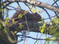 DeSoto, TX fox squirrel