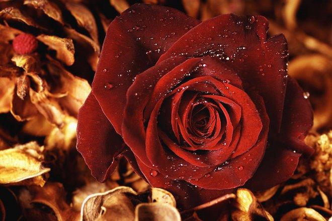 Rosa quente da paixão