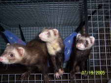 Ferrets Trio Spanx, Abu, & Sade