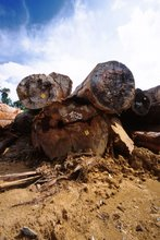 Big trees cleared for oil palm plantations, Kalimantan