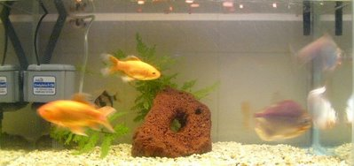 Bottom Tank From Left: Goldtron, Goldie & Silver Dollars