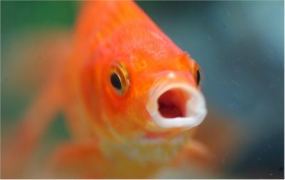 Goldie - The Comet Goldfish