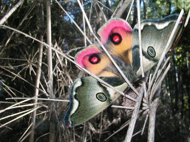 Mariposa Nocturna.