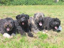Quatre  des chiennes canimômes