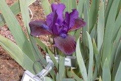 Plum WIne (SDB-Iris) 04/01/07