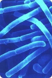 Lactobacillus bulgaricus, bacteria utilizada para la producción de yogurt