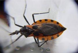 Triatoma dimidiata, uno de los más importantes vectores transmisores de la enfermedad de Chagas
