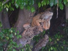The Old, Crusty, Creepy Iguana