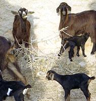 Chèvres du Maroc