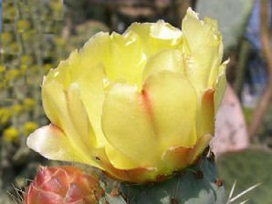 Desert Flower Blooms