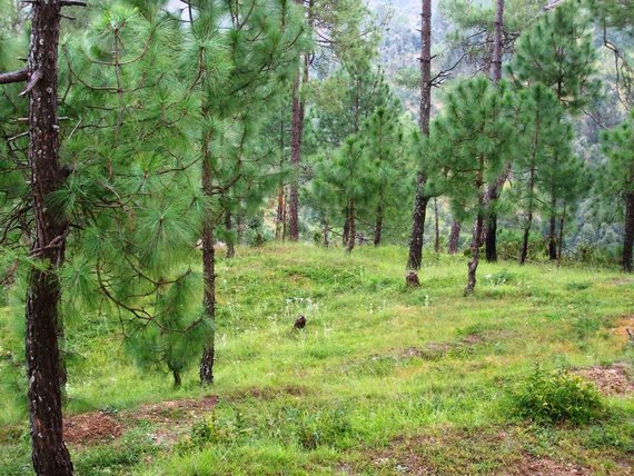 A beautiful landscape from kausani full of Chir pine trees.Kausani is a beautiful hill station appr
