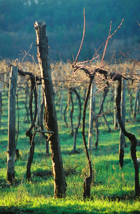 Tuscan Grape Vines in Winter