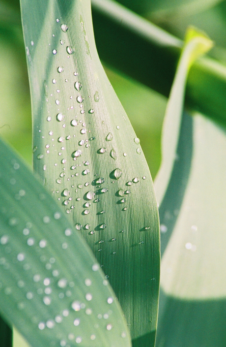 Dew Drops on Cornstalk Leaves