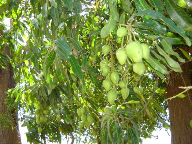 Prepubescent mangos