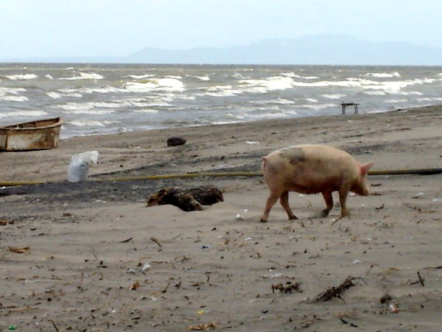 Very large beach pig